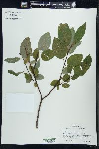 Image of Salix pyrolifolia