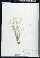 Image of Carex retroflexa