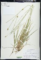 Image of Carex mesochorea