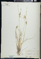 Image of Carex nevadensis