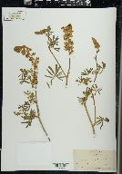 Image of Lupinus sylvestris