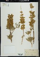 Image of Lupinus longipes