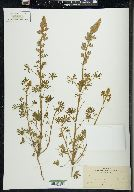 Image of Lupinus gracilis