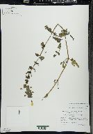 Erythranthe michiganensis image
