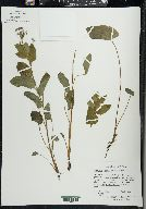 Image of Brunnera macrophylla
