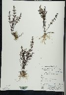 Clinopodium arkansanum image