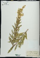 Image of Solidago conferta
