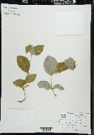 Lonicera dioica image
