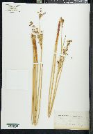 Image of Juncus robustus