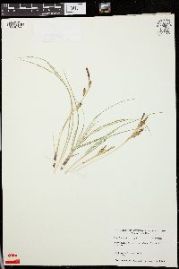 Image of Carex hachijoensis