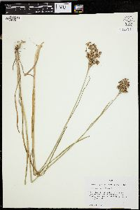 Image of Juncus longii