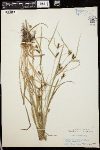 Image of Carex conoides