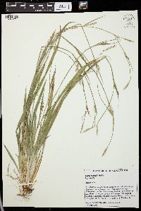 Image of Carex radfordii
