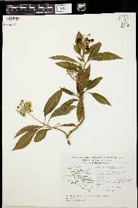 Image of Solanum cervantesii