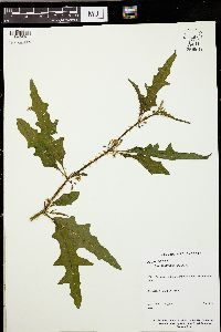 Image of Solanum tampicense