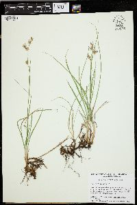 Image of Juncus howellii