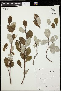 Image of Salix vestita