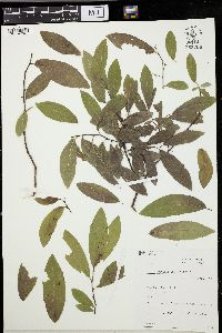 Image of Salix myrtillifolia