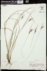 Image of Carex dasycarpa