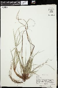 Image of Carex floridana