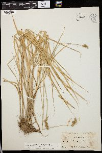 Image of Carex ferruginea