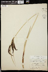 Image of Carex cryptocarpa