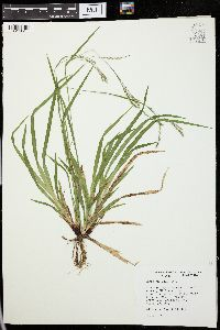 Image of Carex flexuosa