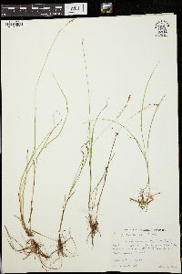 Image of Carex laeviculmis