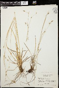 Image of Carex lemmonii