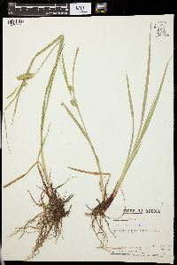 Image of Carex flagellifera