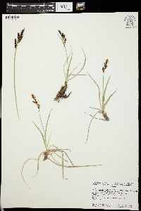 Image of Carex lugens