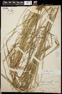 Image of Carex monile
