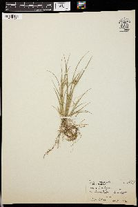 Image of Carex pumila