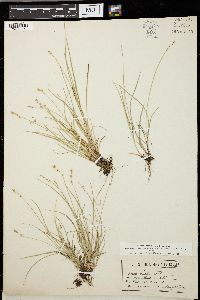 Image of Carex tenella