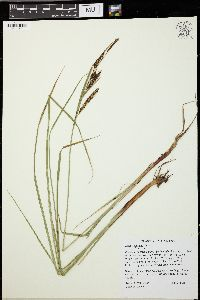 Image of Carex vacillans
