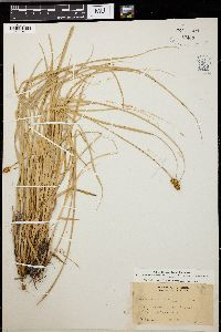 Image of Carex vicaria