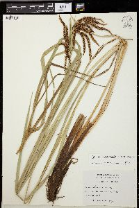 Image of Carex tuberculata