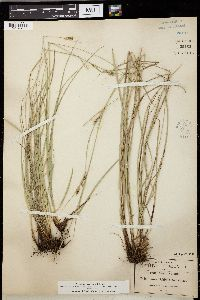 Image of Carex schiedeana