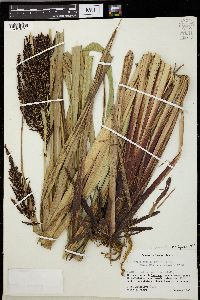 Image of Carex donnell-smithii