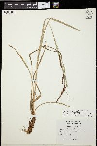 Image of Carex brunnipes