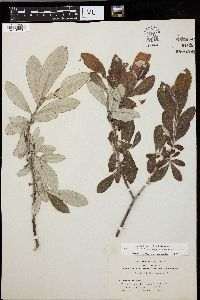 Image of Salix coulteri
