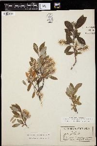 Image of Salix desertorum