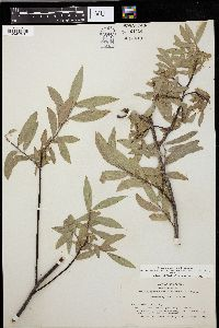 Image of Salix eastwoodiae