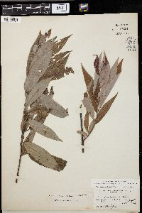 Image of Salix missouriensis