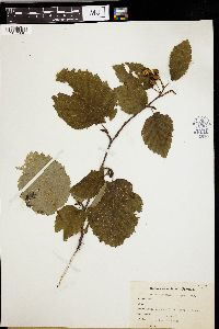 Image of Alnus sitchensis