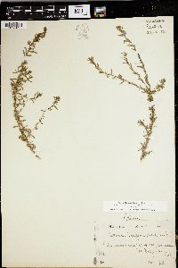Lythrum californicum image