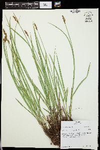 Image of Carex leporina