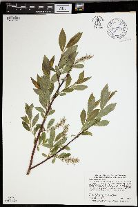 Image of Salix maccalliana