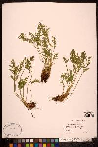 Cryptogramma acrostichoides image