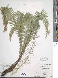 Struthiopteris spicant image
